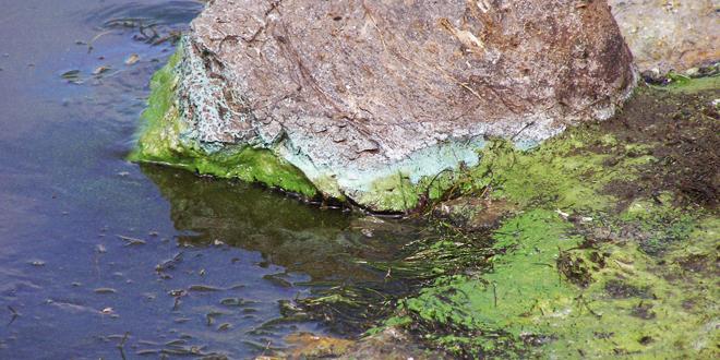 Cyanobacterial Scum